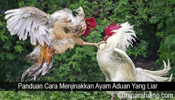 Panduan Cara Menjinakkan Ayam Aduan Yang Liar