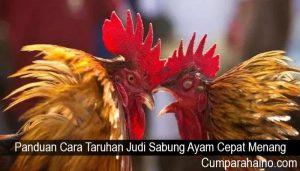 Panduan Cara Taruhan Judi Sabung Ayam Cepat Menang