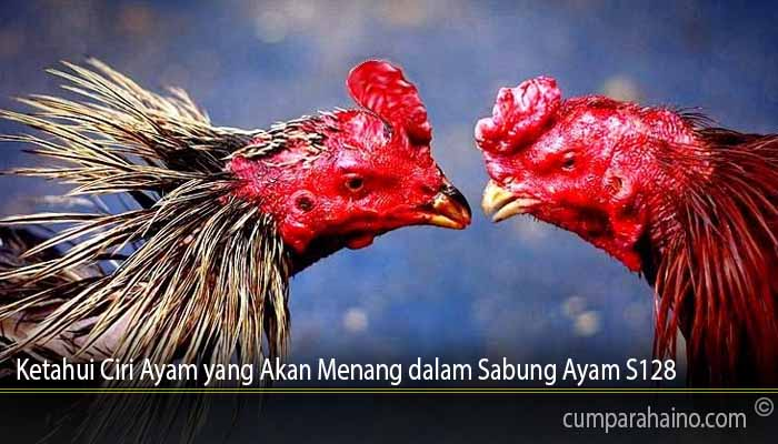 Ketahui Ciri Ayam yang Akan Menang dalam Sabung Ayam S128