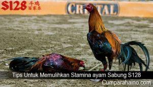 Tips Untuk Memulihkan Stamina ayam Sabung S128